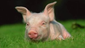 Pigs in Laboratories