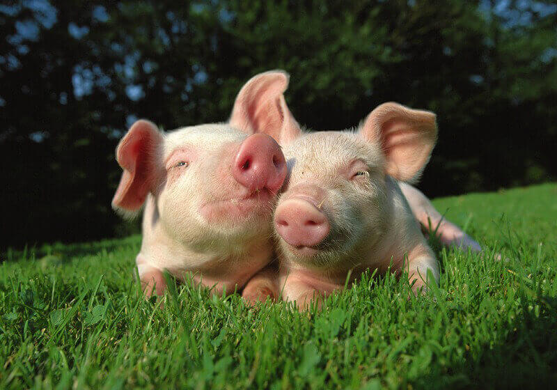 Two Pigs in Grass