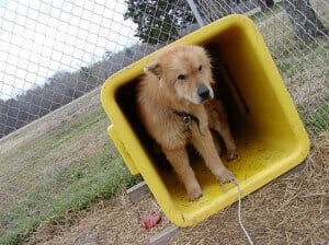 Dog Chained in Yellow Trash Can