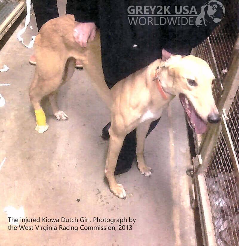 Injured Greyhound