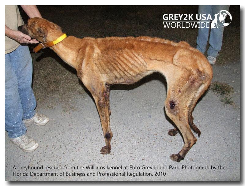 Emaciated Greyhound