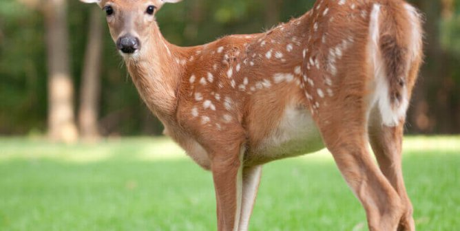 Video: Despite Arrow Lodged in Face, Mother Deer Cares for Her Fawn