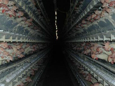 Chickens in rows at factory farm