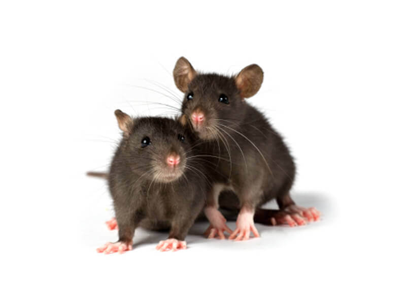 report on animal behavior mice Relationship between exploratory behaviour and test performance  in this  study, animals were handled and tested in the dark phase of the.