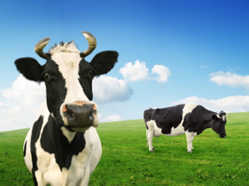 cows used for food peta