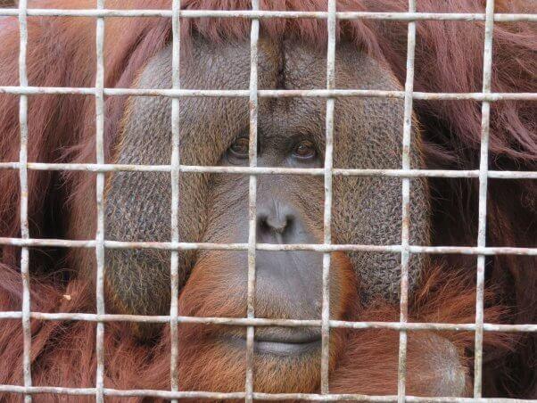 Pongo in a cage at Suncoast Primate Sanctuary, a Florida roadside zoo