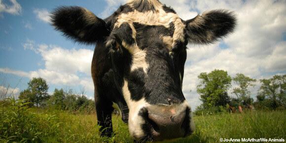 vsk cow banner