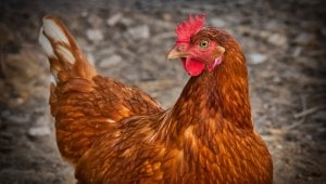 Animals Used for Food: Factsheets