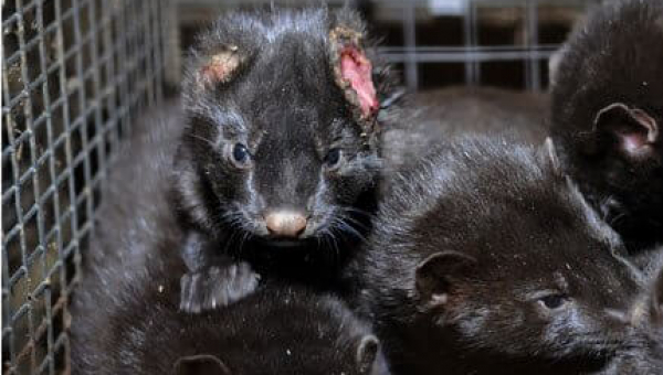 Urge OpulenceMD Beauty to Stop Supporting Violence Against Minks