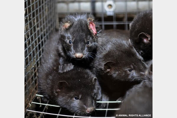 Mink Animal Rights Alliance