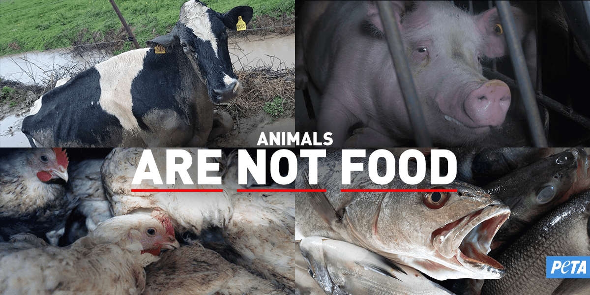 how animals used for food suffer