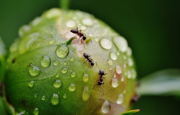 ants on a peony pesticide-free garden