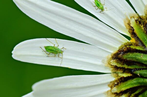 aphids on a flower pesticide-free gardening