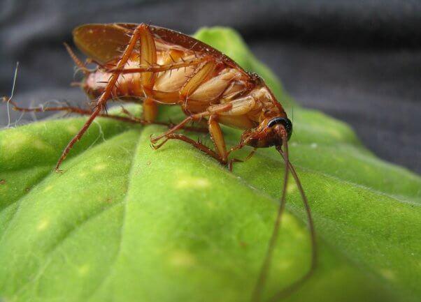cockroach on a leaf pesticide-free garden