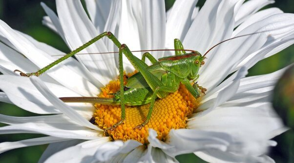 grasshopper on a flower pesticide-free garden