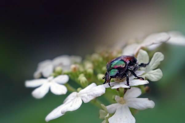 Japanese beetle on flowers pesticide-free garden