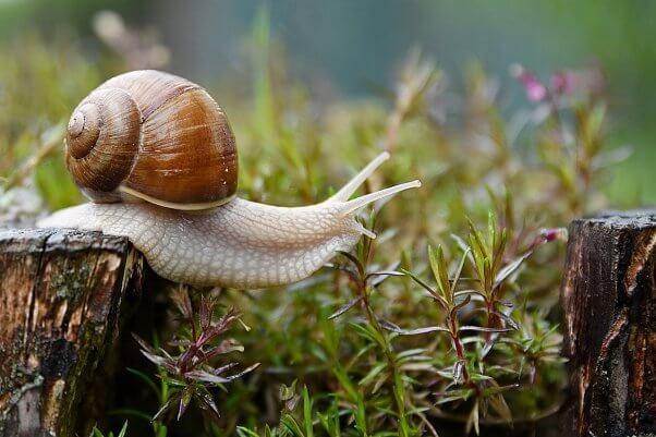 snail in grass pesticide-free garden