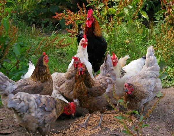 Chickens and Rooster Flock in Grassy Field