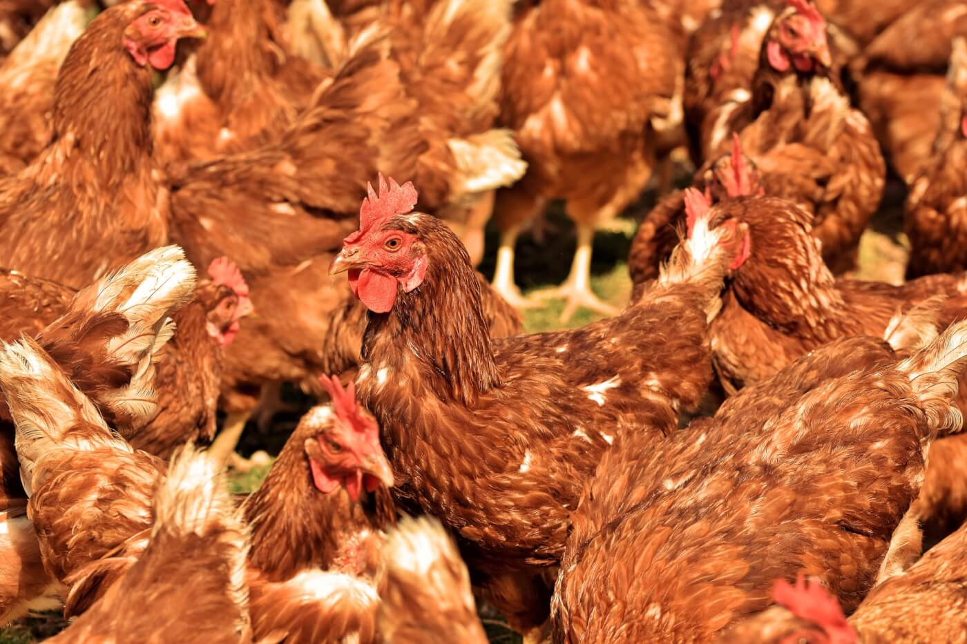 10 Surprising Facts About Chickens | PETA