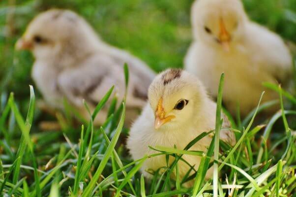 Baby Chicks in Grass