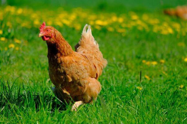 Chicken Sunbathing in Grassy Field