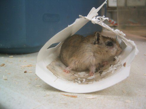 gerbil-on-glue-trap-493x370