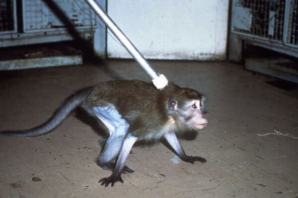 The Silver Spring Monkeys: The Case That Launched PETA   PETA