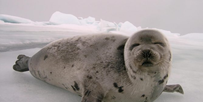 Canada Is Losing Another Excuse Used to Defend Seal Slaughter