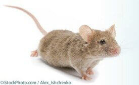 Heart Researcher: Mouse Experiments Don't Work