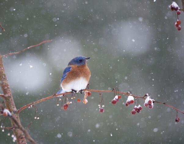 Bluebird in snowstorm bird snow snowy cold