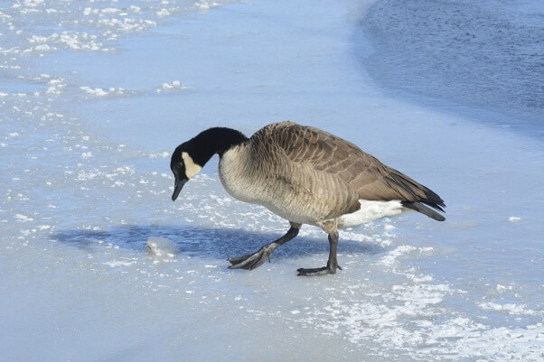 Geese in snow goose pond frozen cold wild animal
