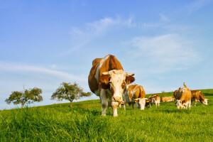 cows-in-field