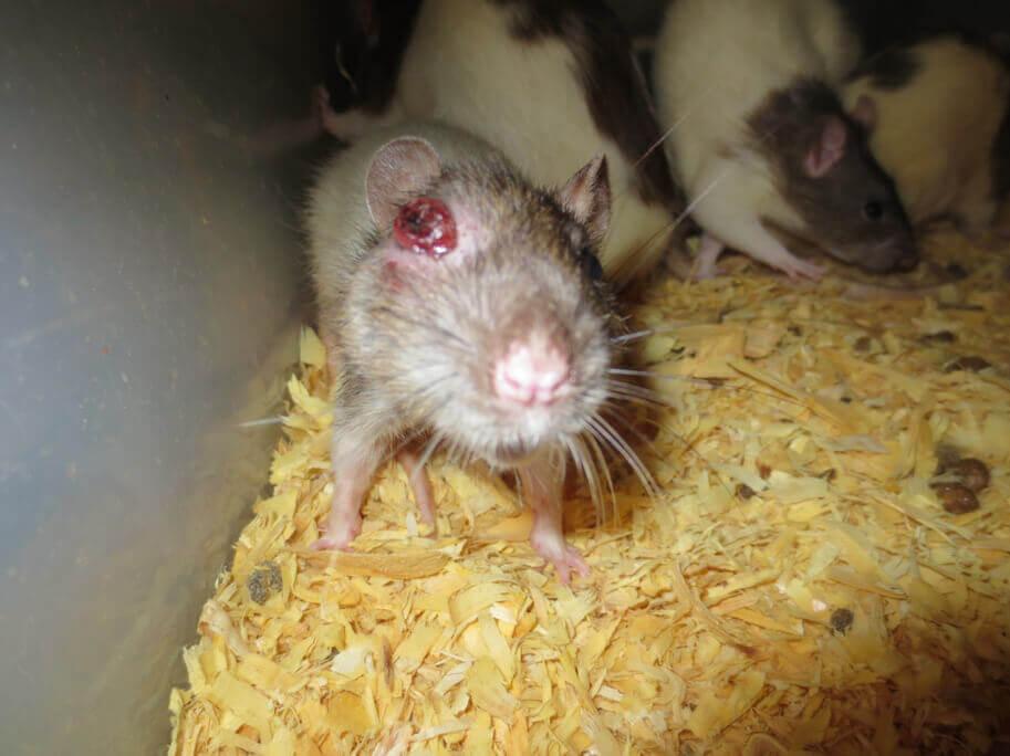 Injured-eye-rat