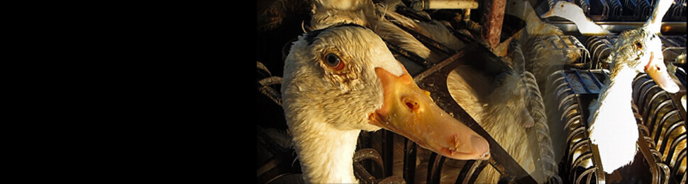 Ducks Crammed in Cages at Foie Gras Factory Farm