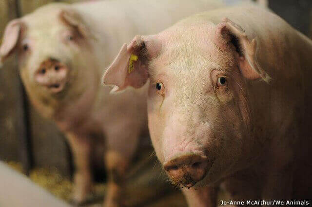 Pigs: Intelligent Animals Suffering on Farms and in
