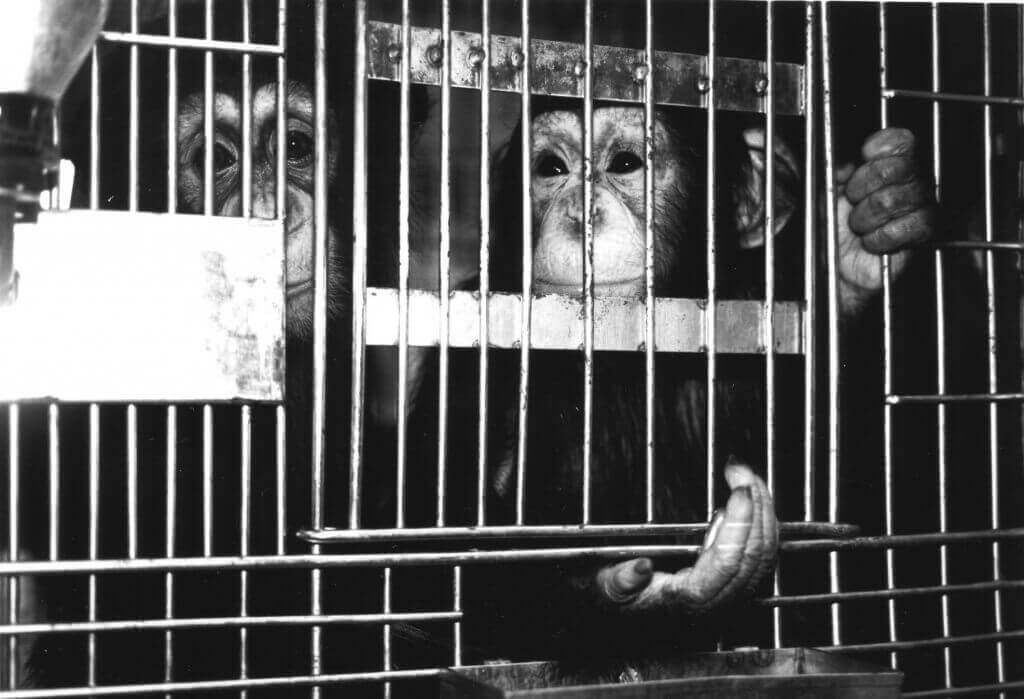 Chimpanzees at SEMA