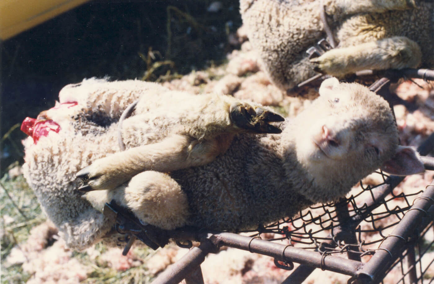 2013 – 50 Retailers Phase Out Mulesing