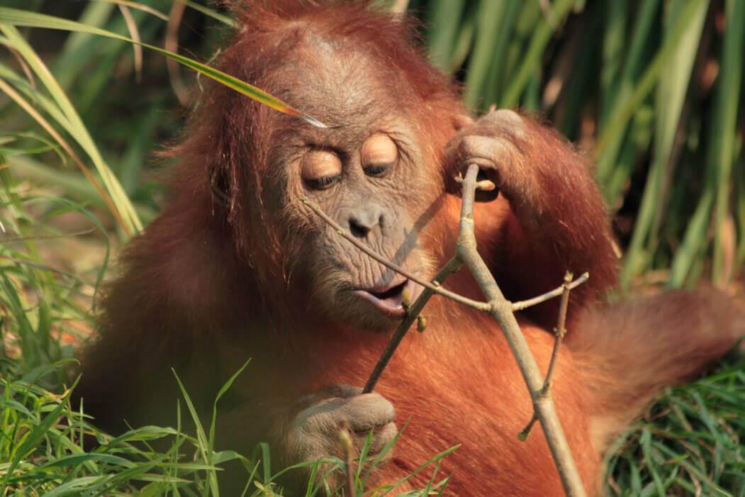 cute-orangutan