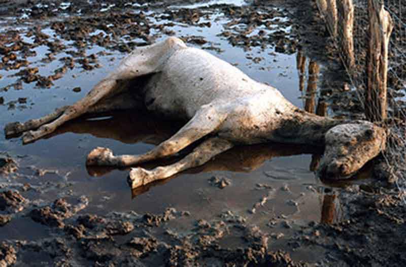 1984 – PETA Closes Down a Texas Slaughterhouse