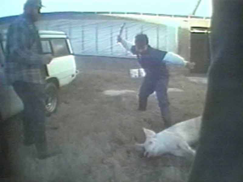 1999 – Pig-Breeding Factory Farms