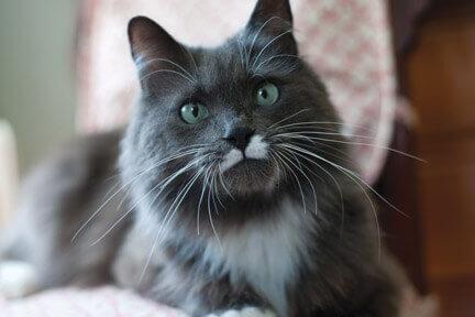 December Rescue Calendar Teddy Cat Declawed Cute