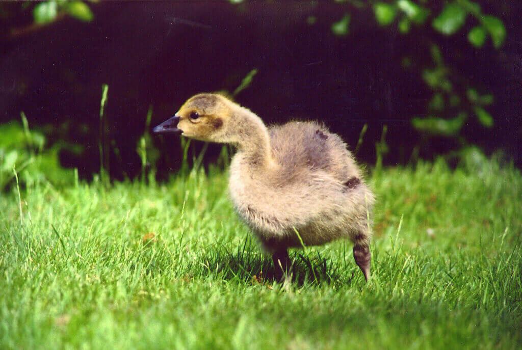 happy-goose