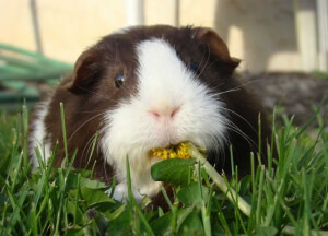Guinea Pig Eating Flower