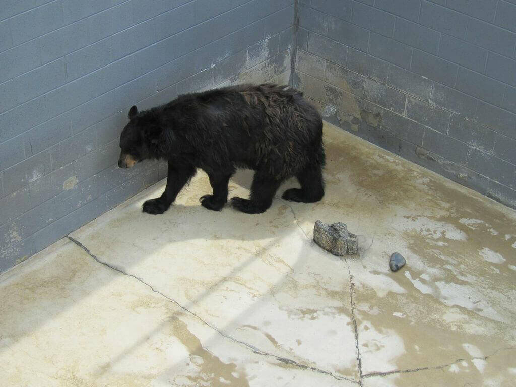 Cherokee Bear at Cherokee Bear Zoo