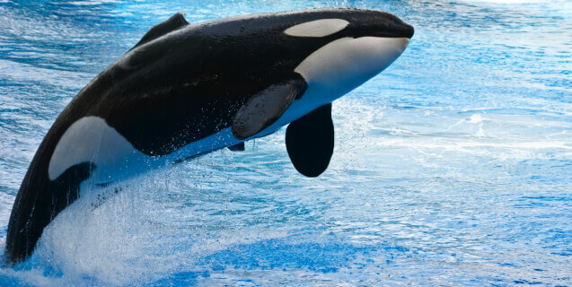 California Bill Would Free Orcas at SeaWorld