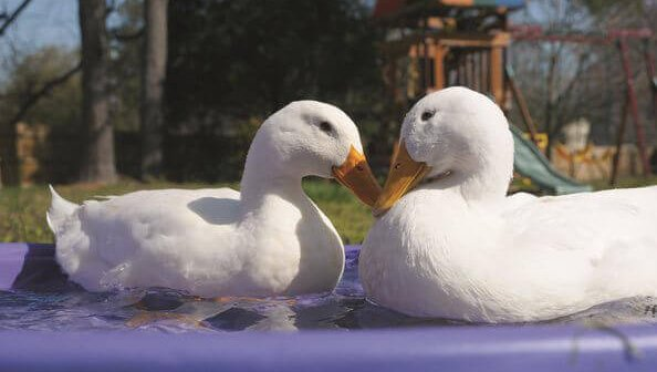 Foie Gras Doesn't Fly on American
