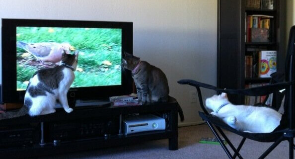 Cats watching TV