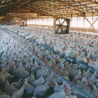 The Chicken Industry Peta