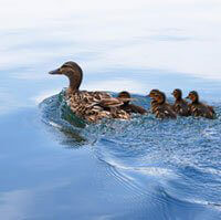The Hidden Lives of Ducks and Geese | PETA