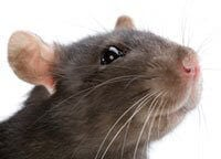 Living in Harmony with House Mice and Rats | PETA
